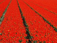 Flowerfields in bloom