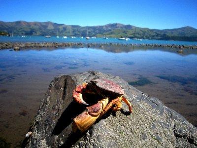Fremch crab