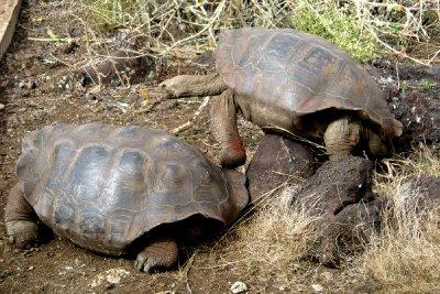 Giant tortoise fighting, San Cristobel