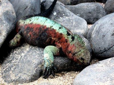 Floreana iguana