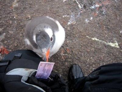 another curious penguin
