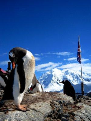 shy penguin, Antarctica