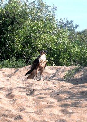 Galapagos hawk, Santa Fe