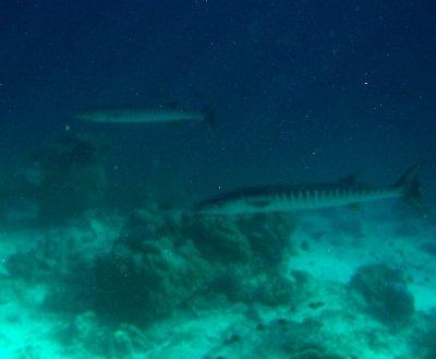 Giant barracuda at sipadan