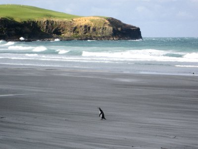 Another penguin waddling onto the beach