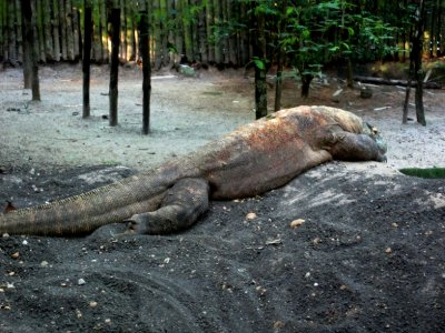 Komodo dragon, Singapore zoo. Smaller than the monitor lizard that chased me in Bormeo!
