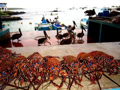 Pelicans hoping for scraps, Santa Cruz fish market