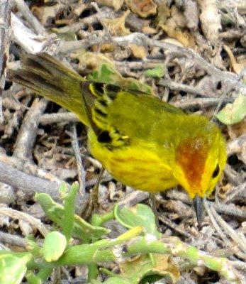 Ground finch, Seymor Island