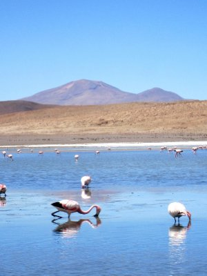 Flaminogos in the laguna