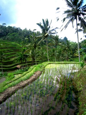 Tegalalang rice terraces