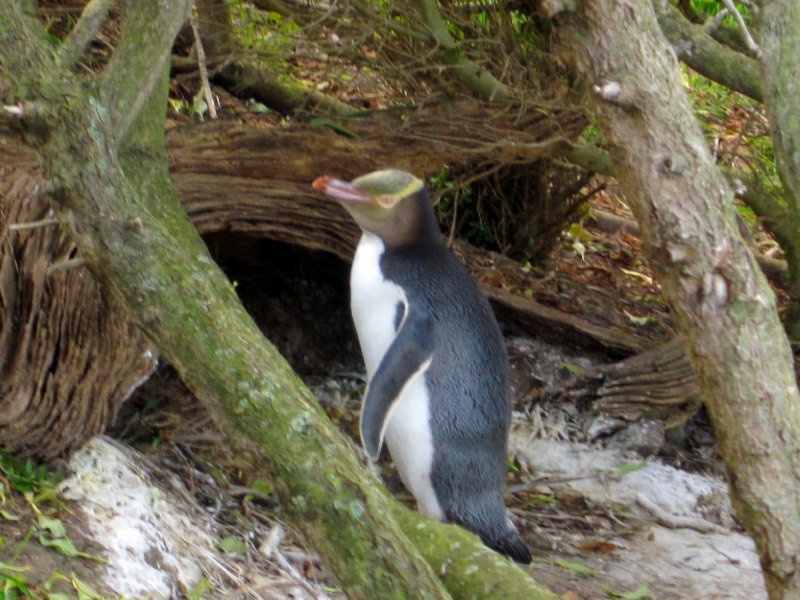 Mr yellow eyed penguin outside his burrow