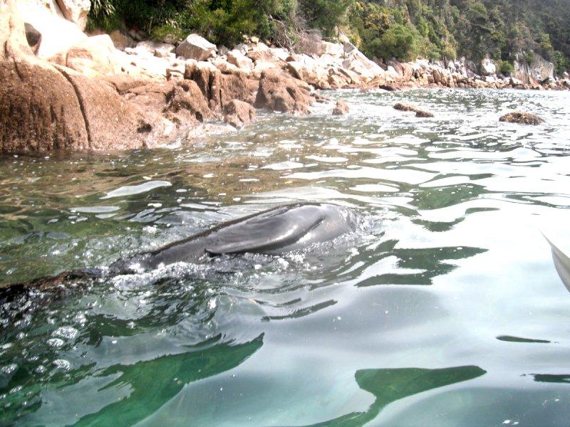 Abel Tasman kayaking, NZ fur seal
