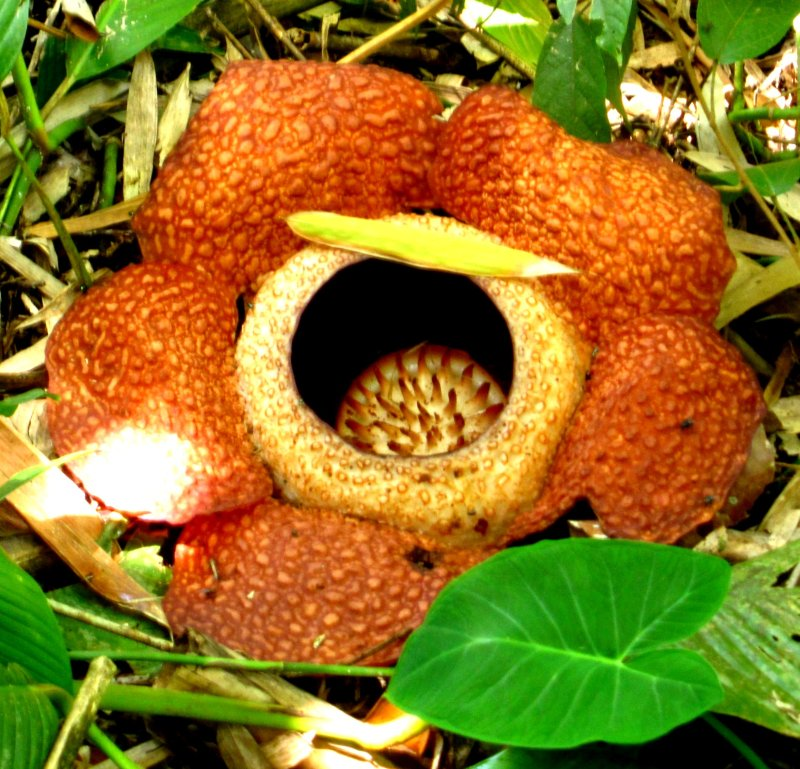 Rafflesia in bloom. largest flower in the world!