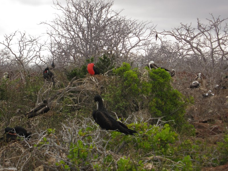 Frigates mating on Seymor Island