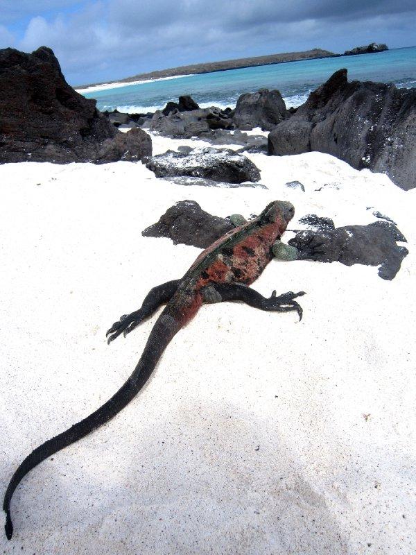 Marine iguanas on Espanola island