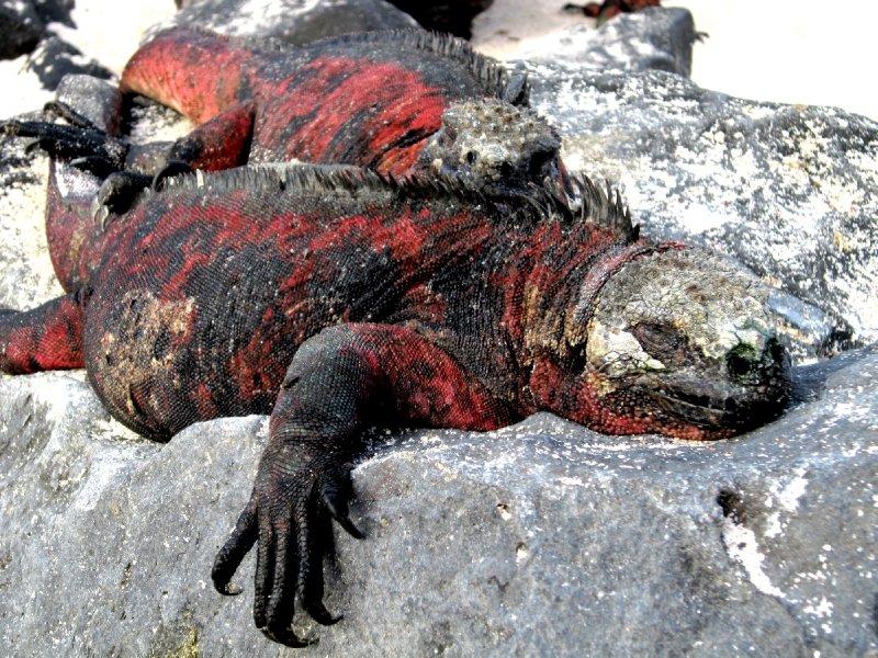 Iguanas, Espanola island
