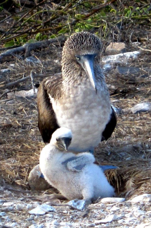 Blue footed boobie with young