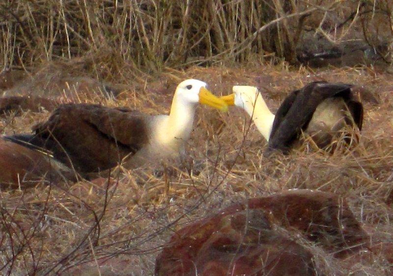 Albatross mating ritual, Espanola island