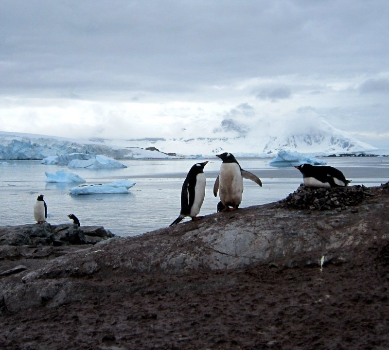 Antarctic Penguin love