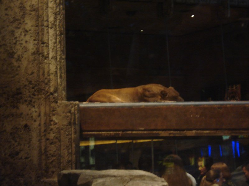 Real Lions at the MGM Grand