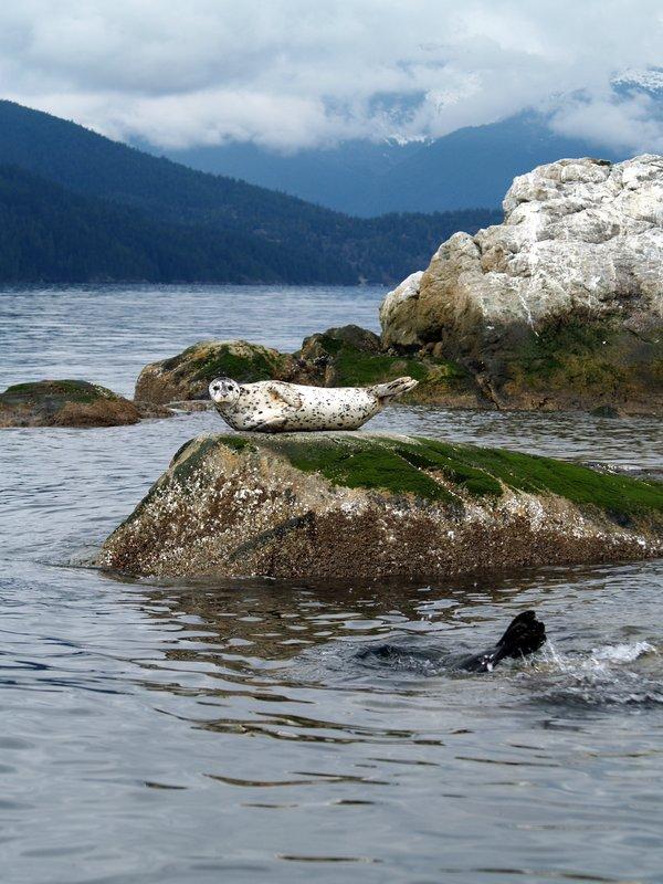 Harbor Seal at Pam Rocks