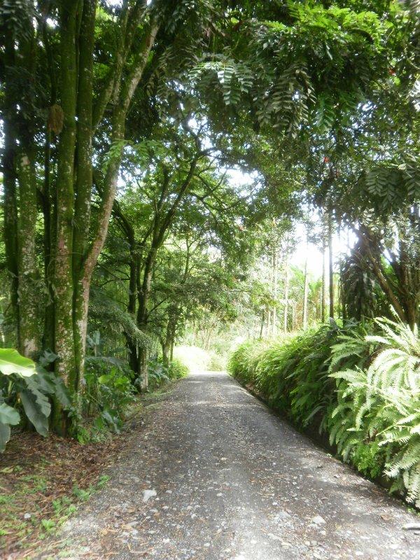 Road on the plantation