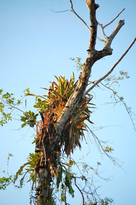 Epiphytes by the Amazon