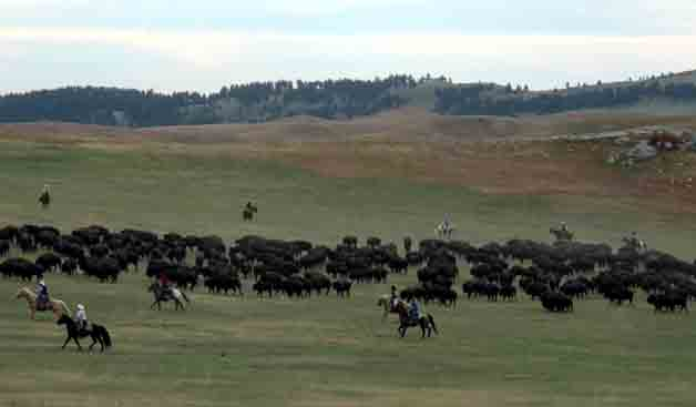 Buffalo Round-Up