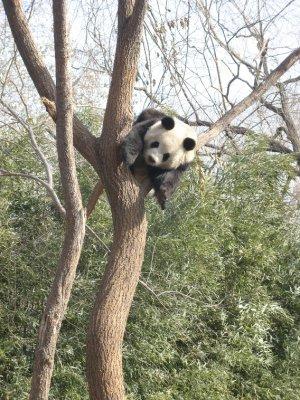 Panda superman