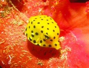 Spotted_Boxfish.jpg