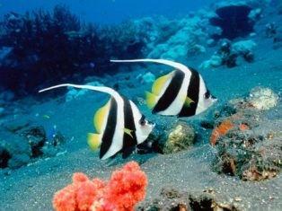 longfin_bannerfish.jpg