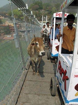 ram-jhula-cow