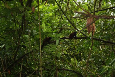 Some wild tamarine monkeys coming closer to inspect the ones in the cage