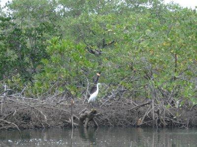 Mangrove swamp at Las Peñitas