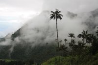 Wax palm trees in the mist