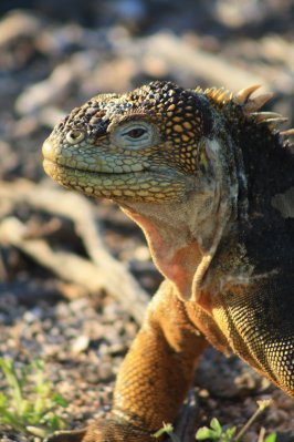 Land Iguana, North Seymour
