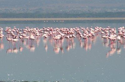 L.Nakuru flamingos