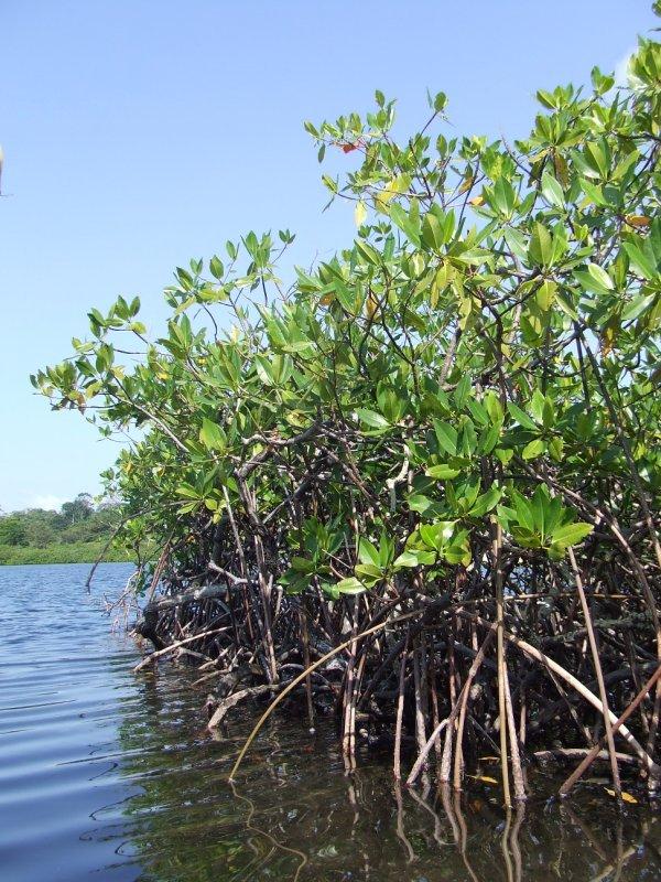 Mangroves in Bocas del Toro