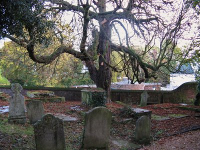 Creepy tree, parish cemetery, Hampstead