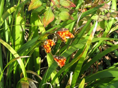 Orange berries, Hill Garden, West Heath