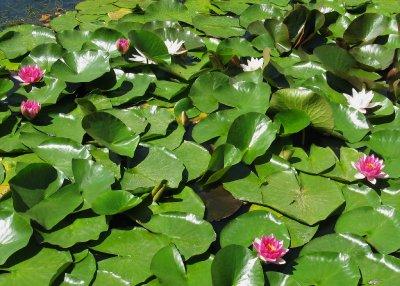 Tom Quad lily pond