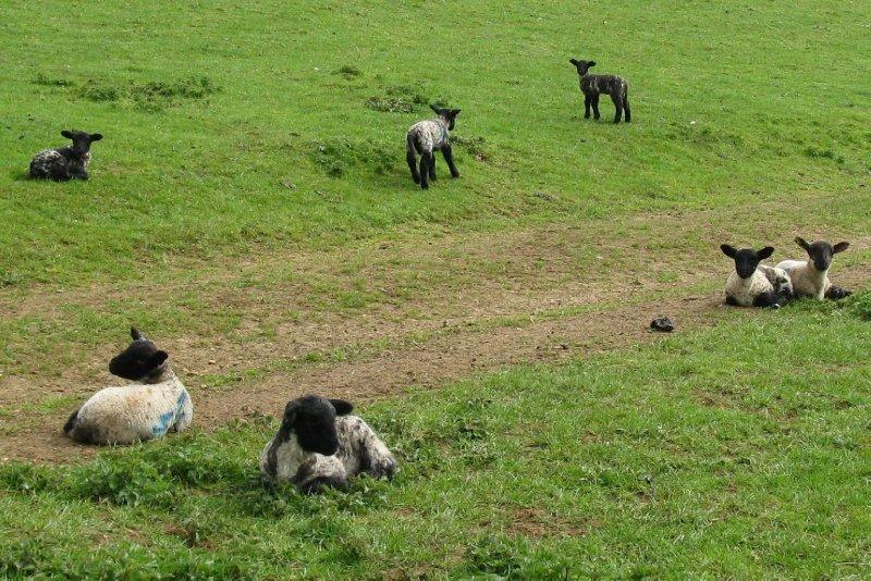 Sudeley Farm lambs