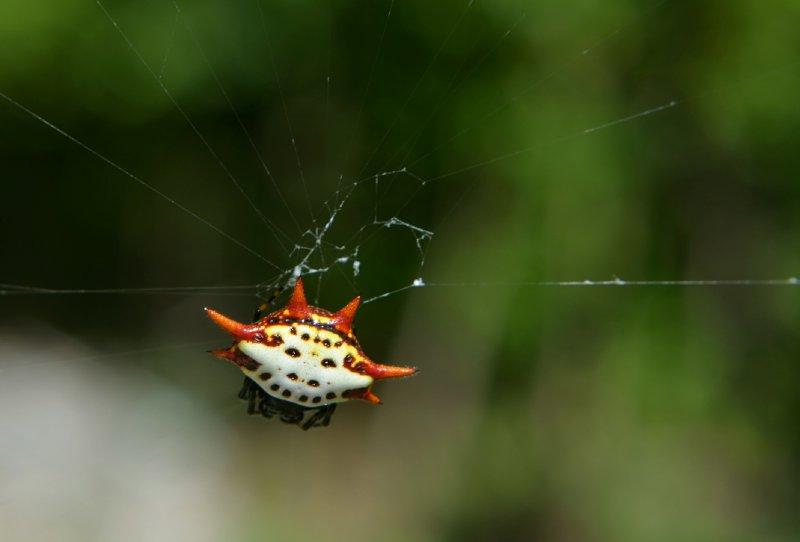 large_Abaco_SpiderCrabRe_1.jpg