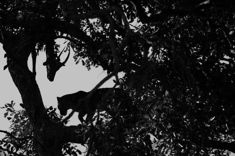 Kruger Leopard Kill