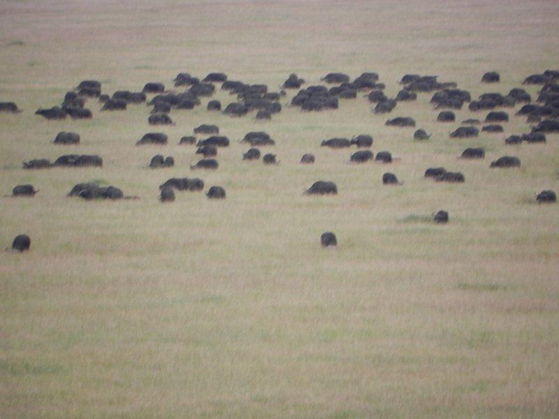 masai Mara Migration 024