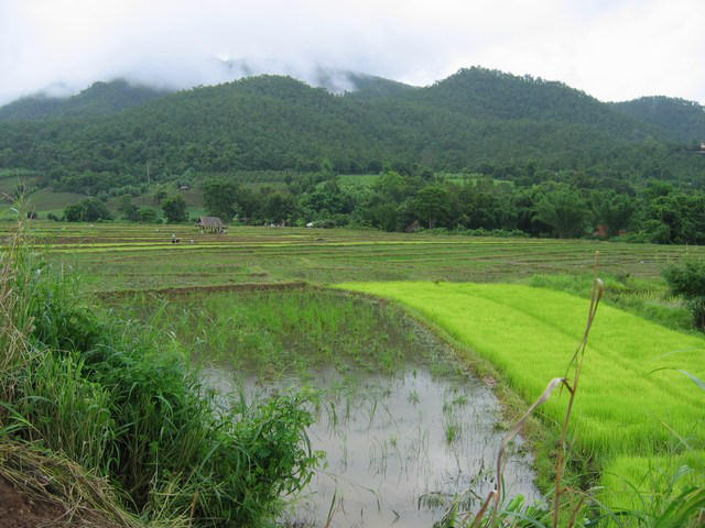 Rice paddy fields, Pai