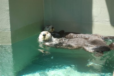 These sea otters were the older ones, they said they liked to nap and rest alot!!
