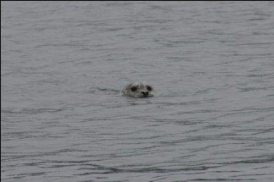 Stellar Sea Lion checking us out!