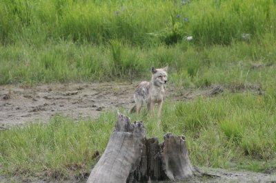 Wily E Coyote--really!