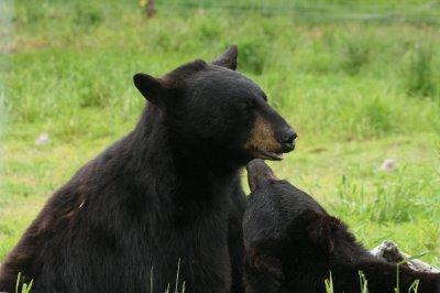 Black bears.